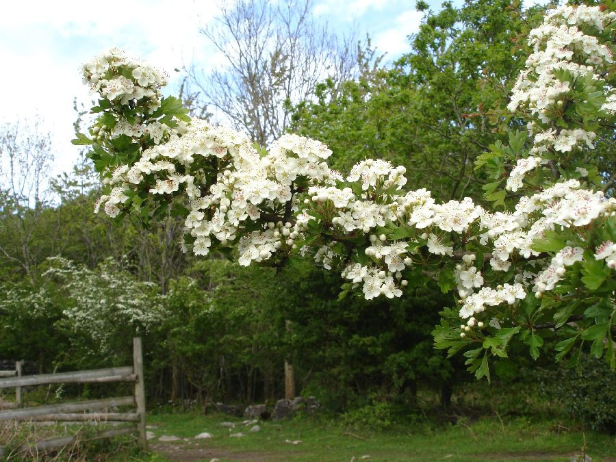 Hawthorne blossom