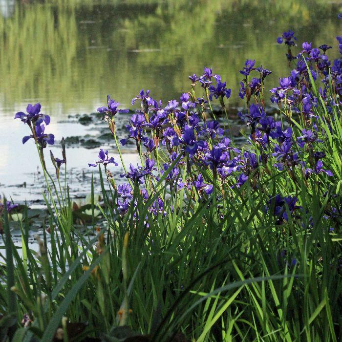Irises at the water's edge