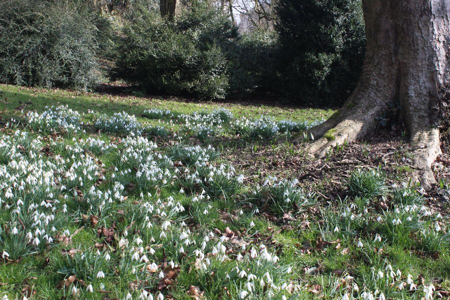 Snowdrops beneath trees