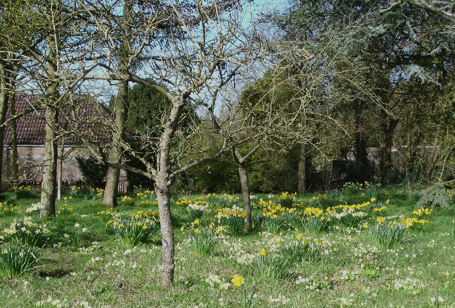 Primroses and daffodils in an orchard.